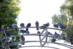 City pigeons sitting on a metal arch royalty free stock photo