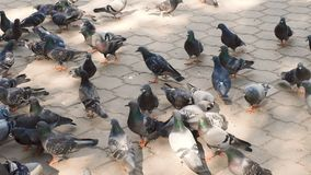 City pigeons walking on a pavement slab in summer. Beautiful pigeones close up, urban dove life stock video