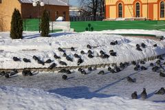 City pigeons in the winter in the snow. Very coldy. The birds are freezing royalty free stock photography