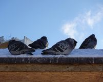 City pigeons in the winter in the snow. Very coldy. The birds are freezing stock photo