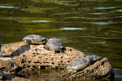 City pond. four turtles. turtles on a stone. royalty free stock photography