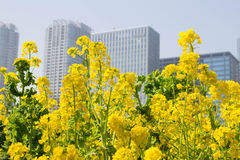 City of rape field Stock Images