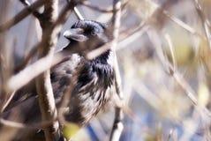 City raven... Royalty Free Stock Photos