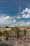 City of Rocks, New Mexico. A former volcanic area from 30 million years ago. A yucca at the end of his flowering time stock image