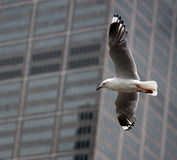 City seagull Stock Photo