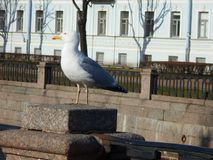 City Seagull. Seagull in town. Sunny day. Sky bird. Warm day. Rests Royalty Free Stock Images