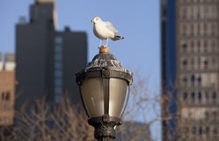 City seagull . Stock Image