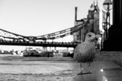 Black and white image of a city seagull stock photography
