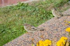 City sparrow Stock Photo
