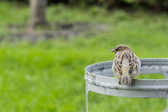 City sparrow Stock Images