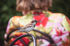 City sparrow sitting on the wicker chair with women's back as background.  stock photo