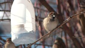 City sparrows eat in a feeding trough on a tree in the spring close-up stock footage
