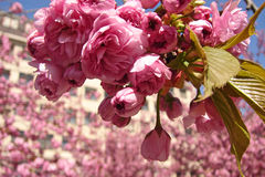 City spring environment. Pink blossoms of cherry tree Stock Images