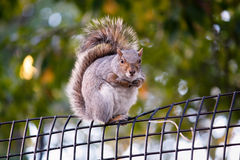 City squirrel Royalty Free Stock Photo