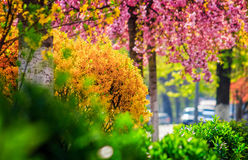 City street blossom in spring. City street blossom with yellow and green bushes and pink sakura in spring Stock Photography