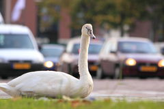 City swan and cars street Stock Photography