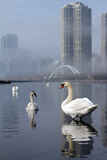 City Swans Royalty Free Stock Photos