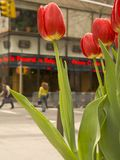 City Tulips. This is an interesting view of some Spring tulips blooming in New York City stock photos