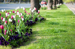 City tulips arrangement Stock Image