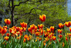Tulips in spring Stock Images