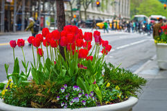 City Tulips Royalty Free Stock Photo
