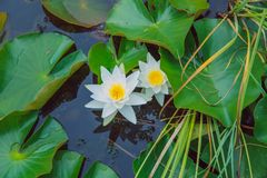 Water lillies and lake. Flowers and leaf. Nature and water. City Vecpiebalga, Latvia. Water lillies and lake. Flowers and leaf. Nature and water. Travel photo stock photos