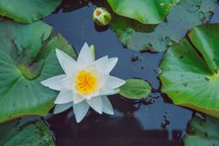 Water lillies and lake. Flowers and leaf. Nature and water. City Vecpiebalga, Latvia. Water lillies and lake. Flowers and leaf. Nature and water. Travel photo stock image