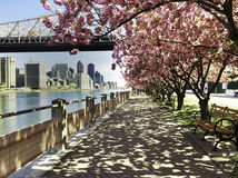City View with Cherry Blossoms, New York. The skyline of Manhattan is seen under the Ed Koch Queensboro Bridge, and through pink cherry blossoms from a walkway Stock Photo