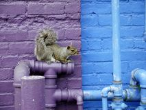 City wildlife: squirrel on plumbing pipes. Gray squirrel perched on plumbing pipes against purple and blue painted brick wall Royalty Free Stock Photos