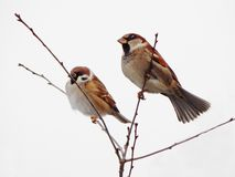 Sparrow on a branch. City winter park, snow, cold royalty free stock image