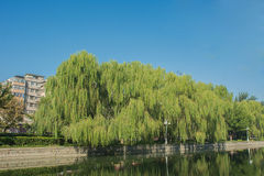 Cityscape of bottle brush trees near lake in park with building Stock Image