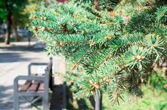 Cityscape with conifer branch. Conifer branch with a small field of focus on the background of a city street royalty free stock images