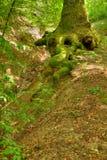 ciucaruskogmaren rotar treen Royaltyfri Fotografi
