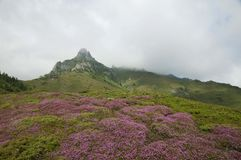 Ciucas Mountains. Pink flowers and geological formations, Ciucas mountain in Romanian Carpathians Royalty Free Stock Photography