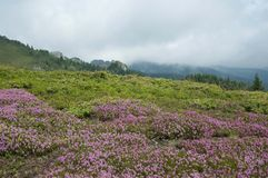 Ciucas Mountains. Pink flowers and geological formations, Ciucas mountain in Romanian Carpathians Royalty Free Stock Image