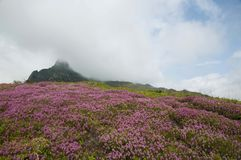 Ciucas Mountains. Pink flowers and geological formations, Ciucas mountain in Romanian Carpathians Stock Images