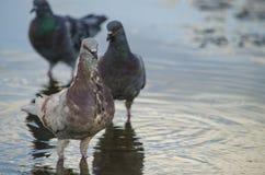 Ciudad de las palomas en agua Foto de archivo libre de regalías