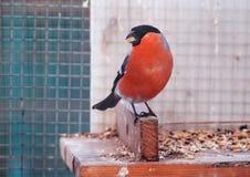 Ciuffolotto con la fine rossa delle piume su con cereale al becco Fotografia Stock Libera da Diritti