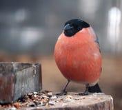 Ciuffolotto con piume rosse che si siedono all'esame di piastra metallica Immagini Stock Libere da Diritti