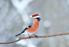 Ciuffolotto dell'uccello nel Natale rosso di inverno del cappello di Santa nel parco Immagini Stock Libere da Diritti