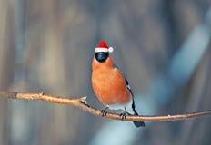 Ciuffolotto dell'uccello nel Natale rosso di inverno del cappello di Santa nel parco Fotografia Stock Libera da Diritti