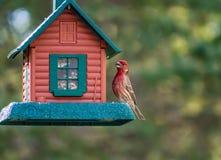 Ciuffolotto messicano - uccello nordamericano fotografie stock
