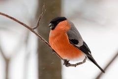 Ciuffolotto nel giorno di inverno Fotografia Stock Libera da Diritti