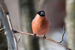 Ciuffolotto nell'inverno Fotografia Stock