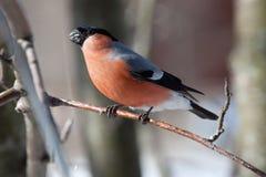 Ciuffolotto nell'inverno Fotografie Stock Libere da Diritti
