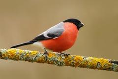 Ciuffolotto, pyrrhula del Pyrrhula, sedentesi sul ramo del lichene, su Sumava gialli, repubblica Ceca, uccello canoro maschio ros Immagini Stock Libere da Diritti