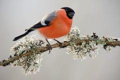 Ciuffolotto, pyrrhula del Pyrrhula, sedentesi sul ramo del lichene, su Sumava gialli, repubblica Ceca, uccello canoro maschio ros Fotografia Stock