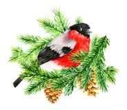 Ciuffolotto rosso sul brunch del pino Illustrazione dell'acquerello Fotografia Stock