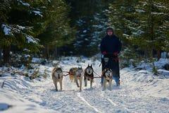 """CIUMANI, †de ROMÊNIA """"janeiro de 2016: Musher de Unindentified que monta malamutes do Alasca na competição do trenó do cão em C Imagem de Stock Royalty Free"""