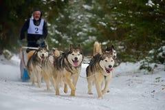 """CIUMANI, †de ROMÊNIA """"janeiro de 2016: Musher de Unindentified que monta malamutes do Alasca na competição do trenó do cão em C Foto de Stock Royalty Free"""